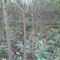 可供8000株米径3-4公分三叶树苗重阳木