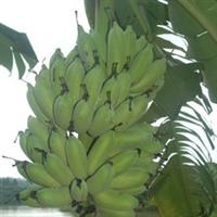 供应鸿豪香蕉试管苗试管苗香蕉苗香蕉