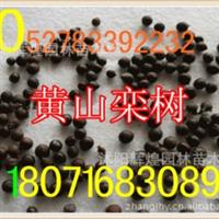 出售:杨梅种子圣生梅种子(保质保量货到付款)