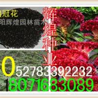 出售:鸡冠花种子