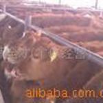 河北养肉牛什么肉牛品种适合南方养殖?鲁西黄牛