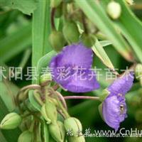 春彩花卉供应,草花地被,水生植物,紫露草.:紫鸭趾草、紫叶草