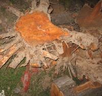 (批发)大规格优质梨树根(根雕用)砀山梨砀山梨树安徽砀山梨
