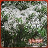 出售当年新采苗木树种【流苏树种子】可嫁接桂花