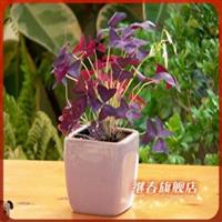 盆栽花卉【紫叶酢浆草】花朵细长.白色小花.秋季开花