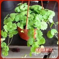 香草系列【金钱薄荷】适合种在吊盆悬垂作为观赏植物