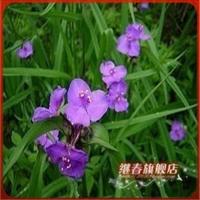 地被盆栽花卉【无毛紫露草】花期长.夜合花.花期一直到冬天