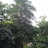 供应幌伞枫树/绿化苗木/小苗到胸径30公分袋苗/地苗