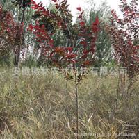 小苗红叶李大量供应公园绿化苗木