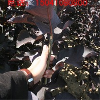 供应辽宁紫叶稠李阿勒泰紫叶稠李加拿大红樱哈密紫叶稠李价格