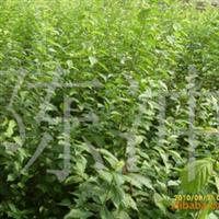 供应榆叶梅,栾枝,小桃红,榆叶梅小苗,各种花灌木