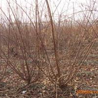 供应小桃红.榆叶梅.栾枝.各种绿化苗木
