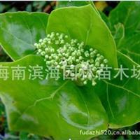 常年批量供应钝叶臭黄荆苗木(半红树林植物)