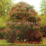 供应欧洲红花七叶树与国产七叶树之区别
