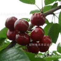 中国樱桃之王——乌皮樱桃苗