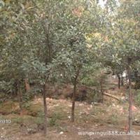供应优美石楠小苗、大风景树、苗木批发(图)