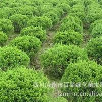 大量供应1.2米高冠幅30-50公分毛叶丁香8万株