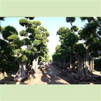 【正品直销】供应大型榕树景观树桩盆景园林绿化造型独特