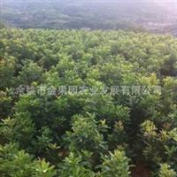 供应大果东魁杨梅苗,高效益杨梅苗品种,品种纯正,苗壮高成活率
