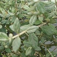 水果兰灌从唇形科木本植物,常绿乔木类