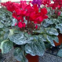 大量出售开花仙客来保安花卉基地
