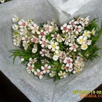 供应优质配花配草类--------叶上花