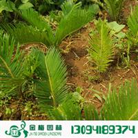 宜昌铁树20-30公分凤尾蕉避火树凤尾松金果铁蕉火蕉园林绿化
