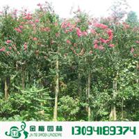 宜昌紫薇140-160公分入惊儿树百日红满堂红痒痒树园林绿化工程苗