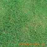 狗牙根�e名百慕大草、爬地草、�O根草
