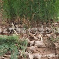 【荒山绿化】用侧柏苗营养袋侧柏苗50公分以上侧柏苗100万