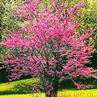 大量供应加拿大紫荆花品质优良
