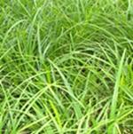 优质批发崂峪苔草庭院、公园绿化、景观草四季休闲草