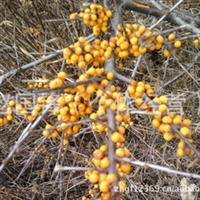 供应红柳,拧条,沙棘,文冠果、紫穗槐树苗