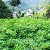 陕西汉中大量供应优质香椿种子