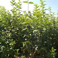 供应绿化苗木连翘、东北连翘、小苗、工程绿化灌木