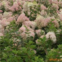 供应大花水亚木、绿化苗木、木绣球、木球荚迷、八仙花