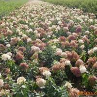 供应灌木八仙花、木绣球扦插苗、大花水桠木扦插小苗