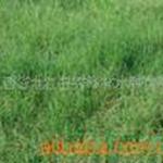 供��狗牙根、百慕大草、爬地草、�O根草