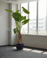 滴水观音/办公绿化/观赏植物/花卉盆景