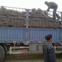 东北亚直销榆树白榆主杆直保证质量数量充足辽宁榆树