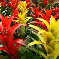 供应凤梨、红白蝴蝶兰、红白掌、文竹、吊兰、常春藤、杜鹃花