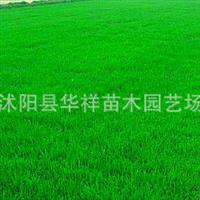供应批发优质草坪草籽种子—早熟禾种子进口草坪种子