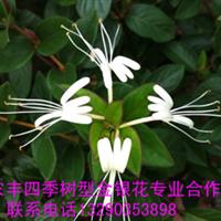 金银花苗金银花种苗四季树型金银花苗