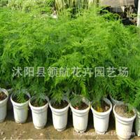 批发供应优质文竹苗室内观叶植物竹类植物四季常青盆栽花卉