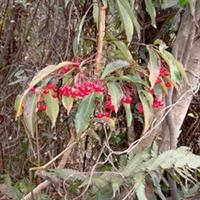 盆景花卉冬季红色观果盆栽野生紫金牛(铁凉伞)当年挂果苗批发