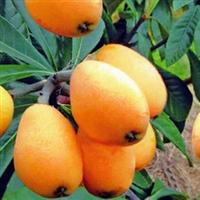 常青花卉种子沙藏保鲜枇杷树种子枇杷种子芦橘金丸芦枝30元