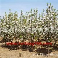 八棱海棠树(4公分)
