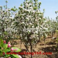 八棱海棠树(5公分)