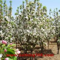 出售大、中、小各种海棠树
