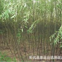 批量销售柳树,型号:垂抱109,一年生